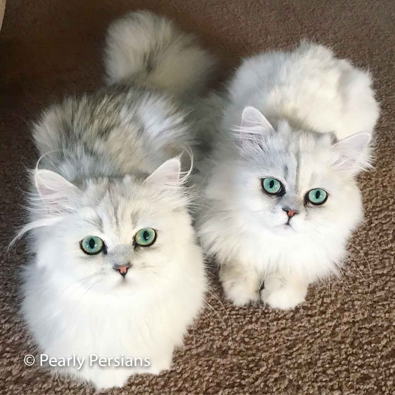 Pearly Persians - Premium Dollface & Silver Chinchilla Cattery